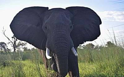 Surrounded By African Elephants: When A Magical Vacation Turns Frightening